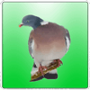 professional-birds-calls-icon